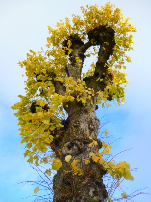 Almost 200 years old, this pollarded lime tree looked stunning in the autumn with its golden foliage.