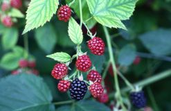 Blackberries (photo from channel4.com)