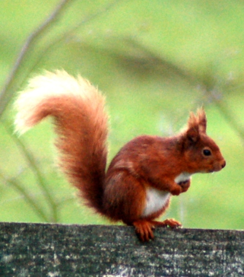 Red squirrel, south west Scotland