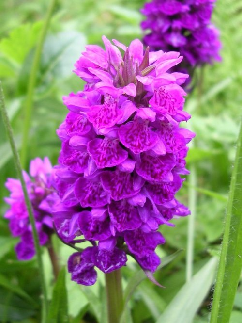 Spotted orchid, Scotland