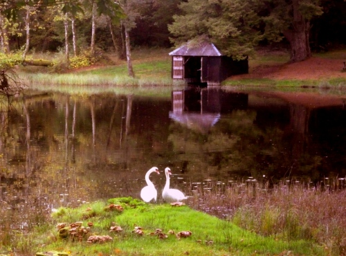 Swans on the loch. South west Scotland